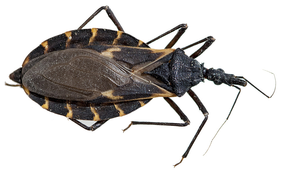 Hidden Threat: Identifying Kissing Bugs From Similar Bugs