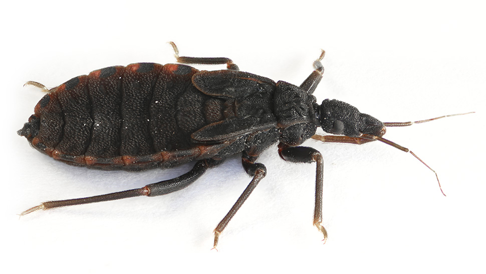 Roll over images to zoom. Hidden Threat  Identifying Kissing Bugs From Similar Bugs   NBC 5